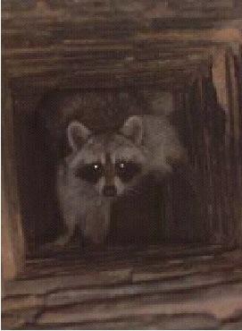 Ft. Lauderdale raccoon-in-chimney