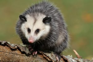 Opossum Removal Ft Lauderdale